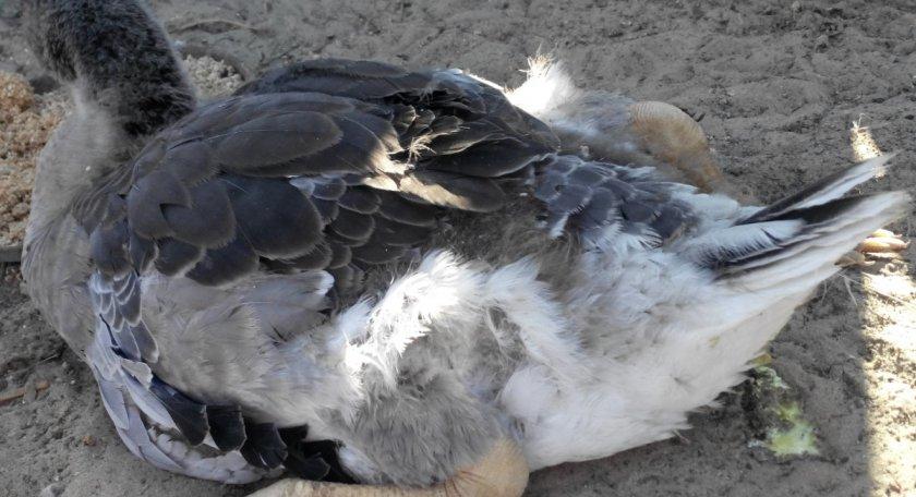 Утки падают на ноги