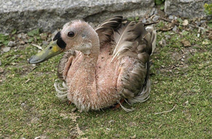 Утка с выщипанными перьями