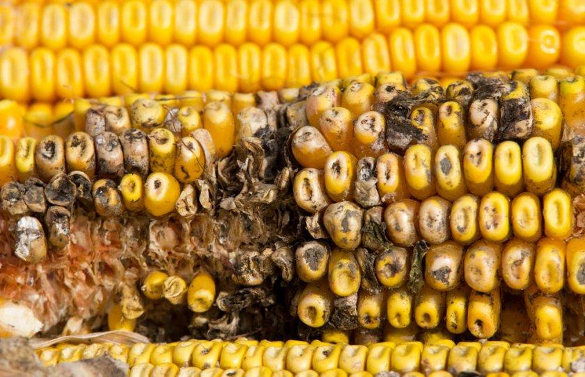 Заплесневение кукурузы