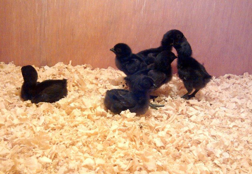 Порода цыплят аям чемани