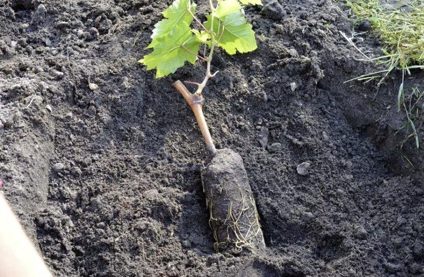 Саженец винограда