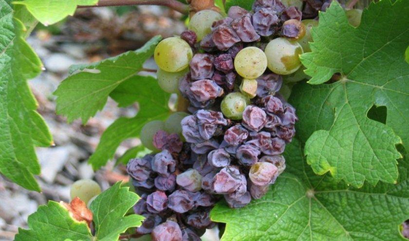 Сохнет виноград
