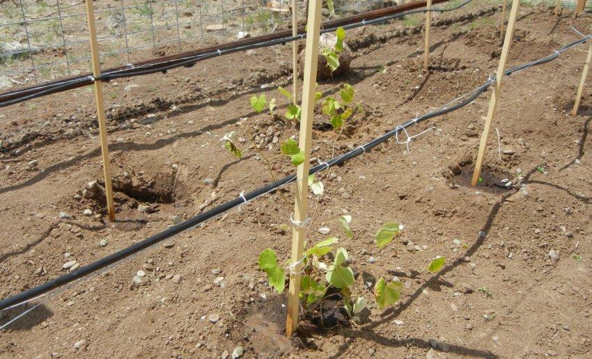 Полив молодых саженцев винограда