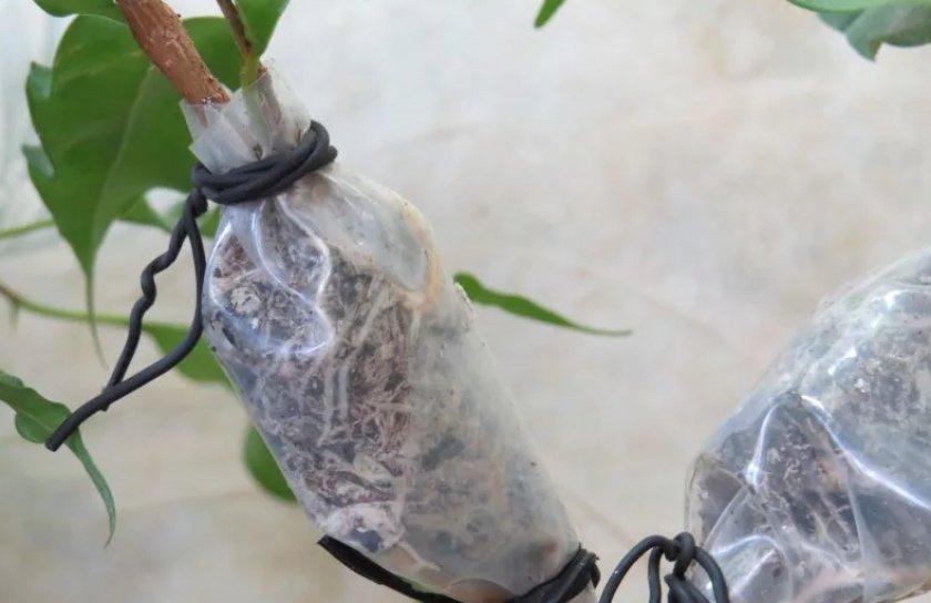 Размножение фикуса Бенджамина отводками