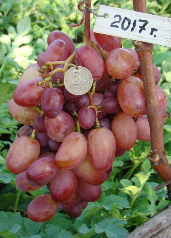 виноград ризамат фото описание и характеристика подборка фото