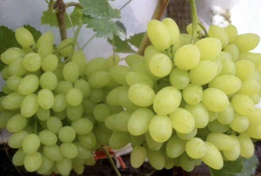 Виноград Русбол улучшенный