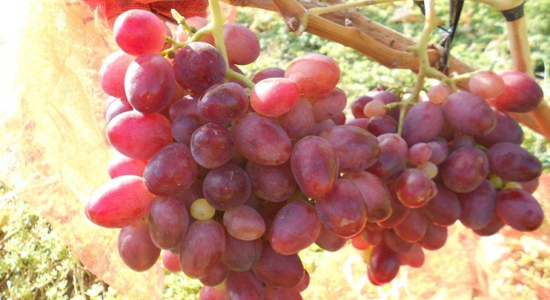отделки виноград ризамат фото описание и характеристика уже