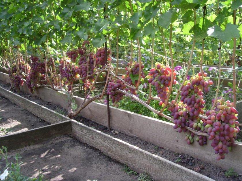 Внешний вид винограда ризамата