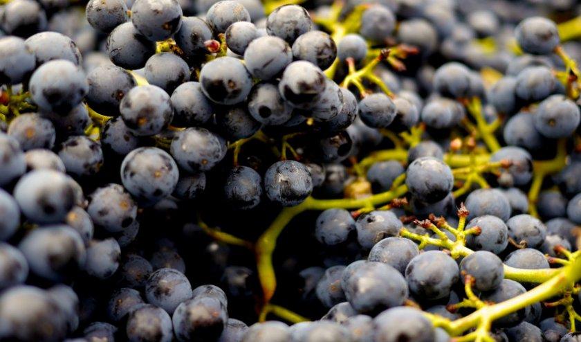 Виноград Пино