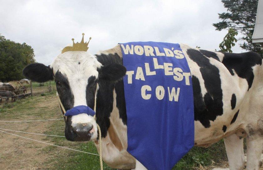 Самая большая корова в мире