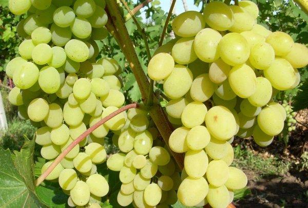 Самостоятельно вырастить виноград Августин, чтобы продавать Виноград Августин: новый столовый сорт, стойкость Виноград Августин: особенности посадки и размножения.