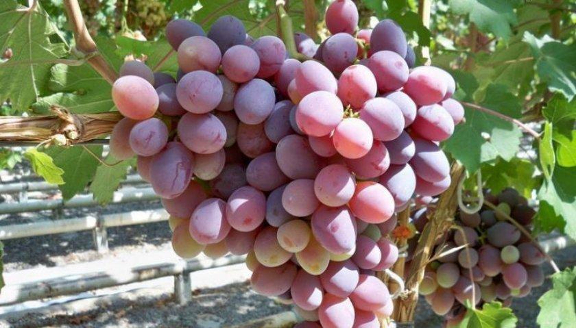 Виноград «Атаман»
