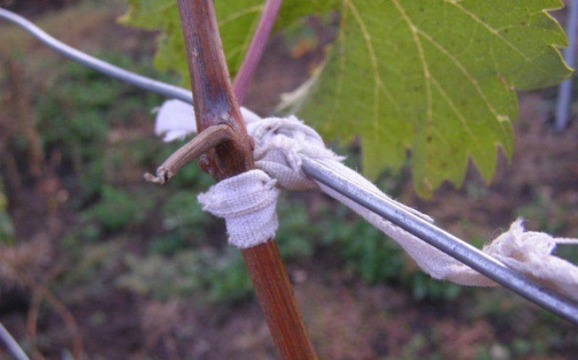 Подвязанный побег винограда
