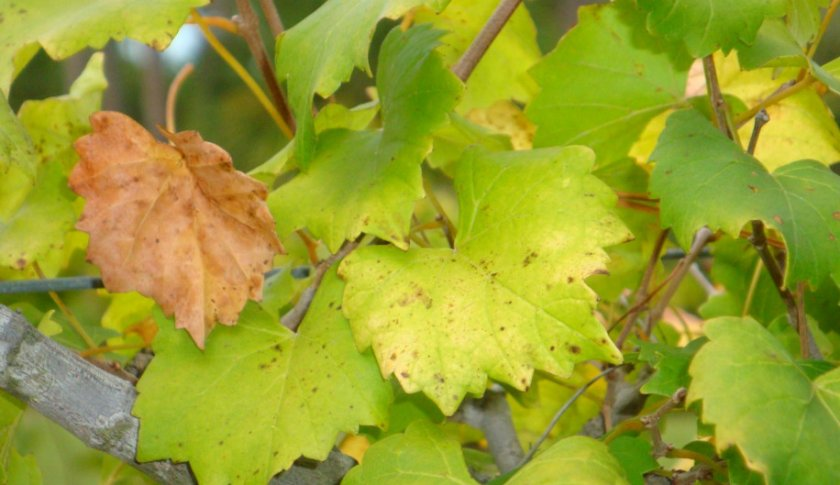 Желтеют листья у винограда