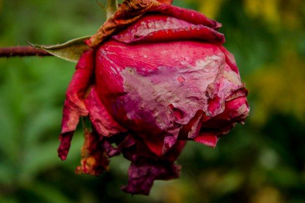 Как почистить розы