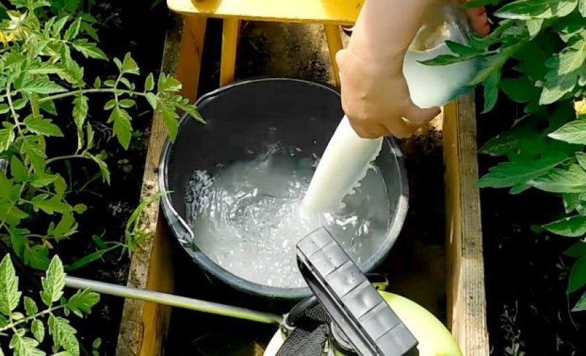 Обработка томатов молочной сывороткой