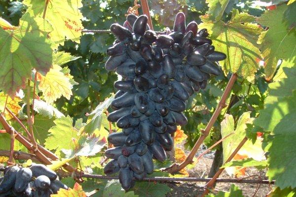 Виноград сувенир описание сорта фото отзывы