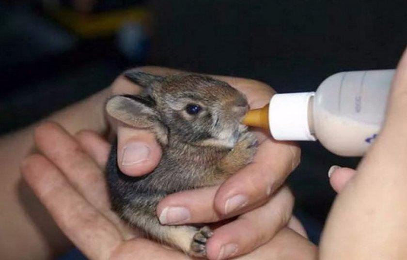 Искусственное выкармливание крольчат