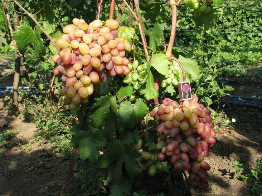 Применение винограда Виктор