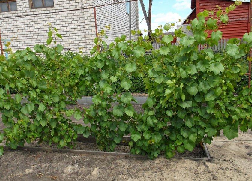 Где посадить на участке виноград