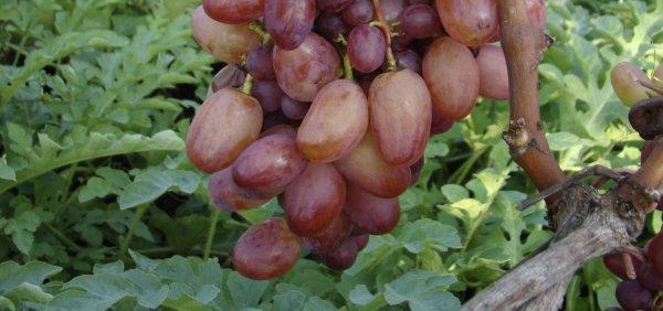 Сорта винограда Преображение характеристика и описание