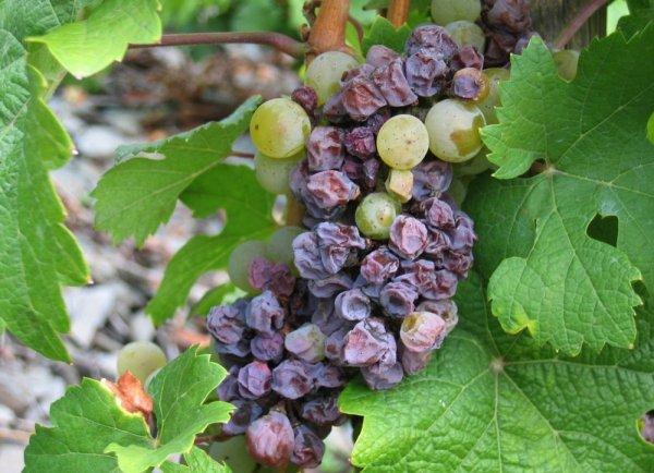 Сохнут кисти винограда - причины явления и меры борьбы с ними видео