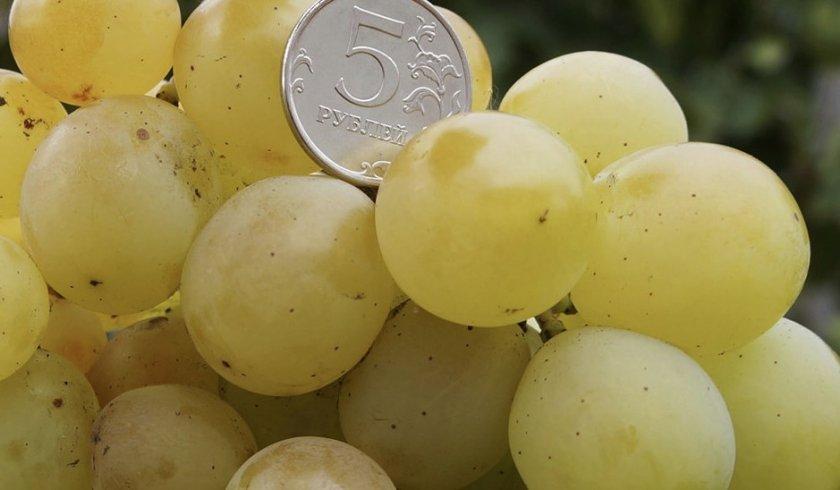 Виноград Кеша мускатный