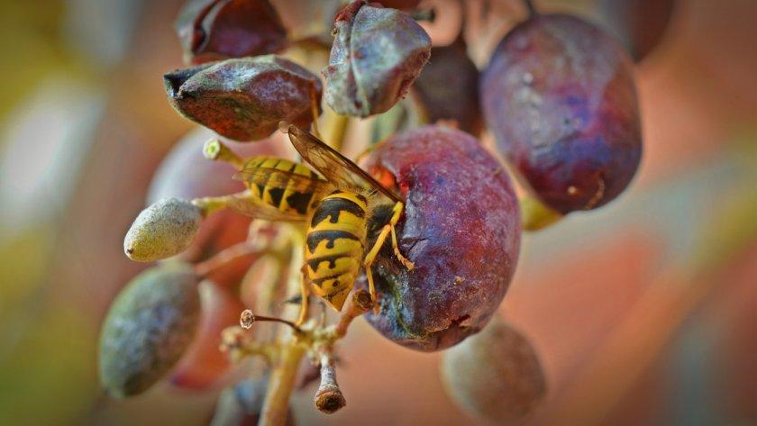 Оса ест виноград