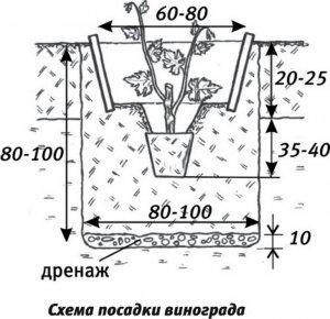 Схема посадка винограда