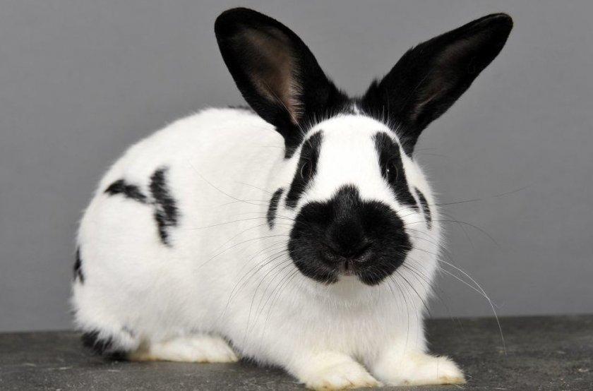 Прода кролей строкач