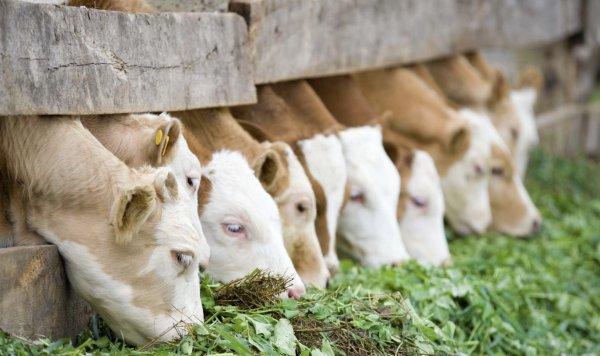 Рацион коровы на день в таблицах: правильный рацион дойных и стельных коров
