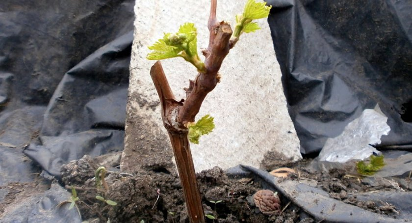 Высадка винограда