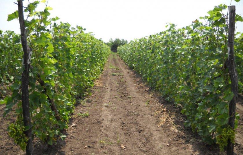 Ряды с виноградом