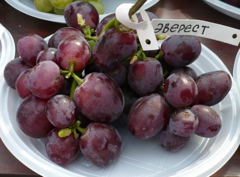 Виноград сорта Эверест