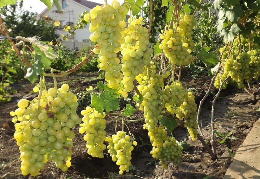Как сажать виноград восторг
