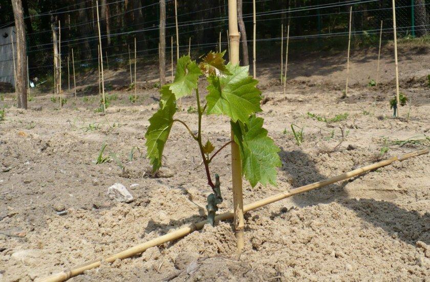 Место для посадки саженцев винограда