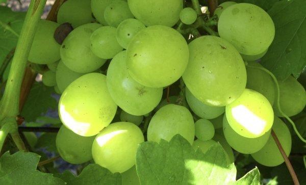 Формировка винограда кеша