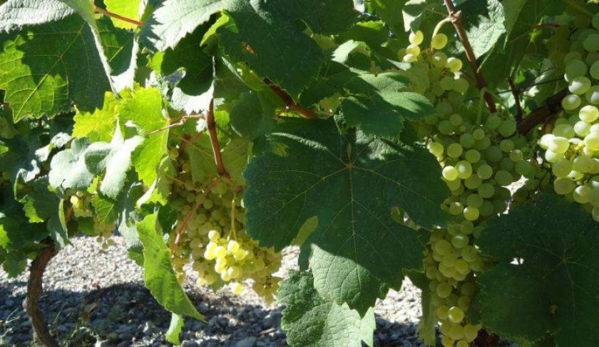Виноград клерет