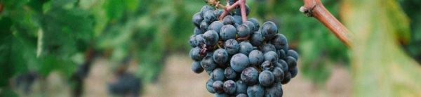 Чем подкормить виноград, в том числе внекорневым способом, а также как удобрить виноград осенью