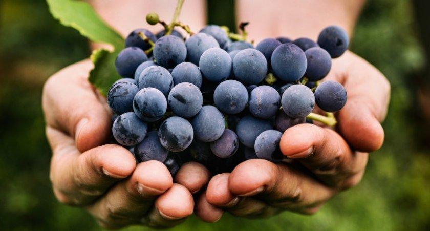 Виноград мурведр