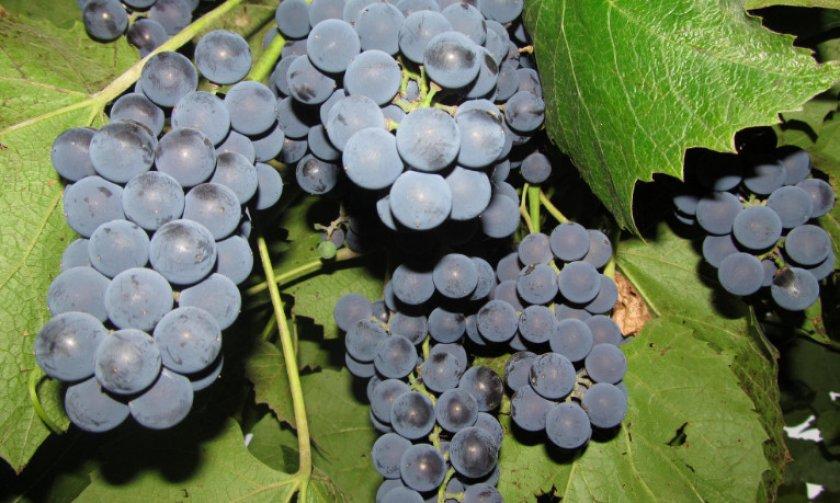 Виноград Молодова
