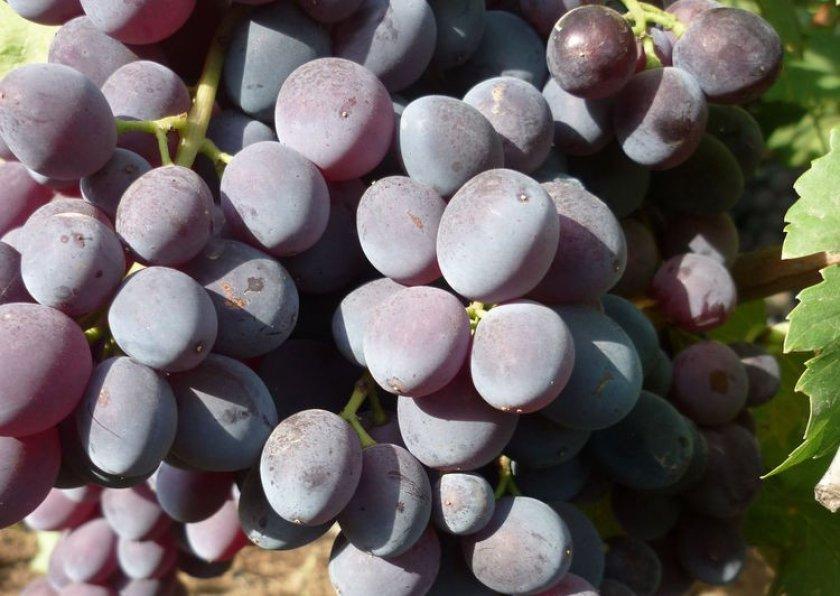 Виноград к-41