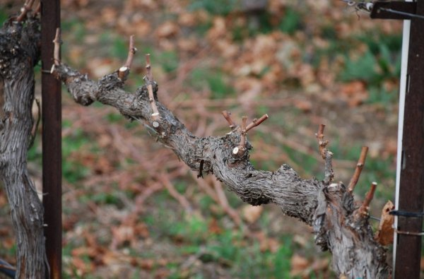 Как обрезать виноград весной