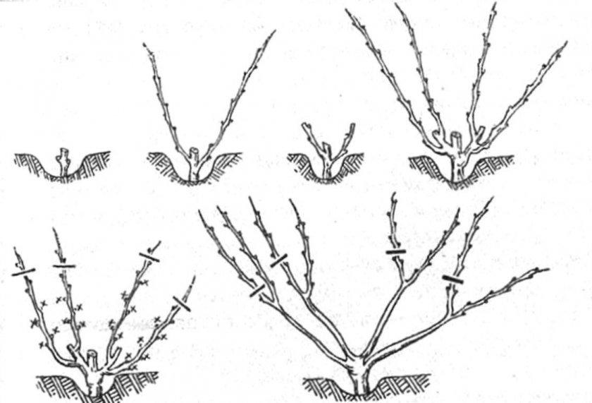 Схема формировки куста винограда