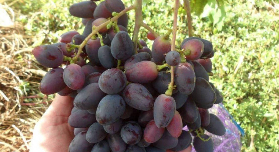 Виноград чародей описание сорта фото отзывы