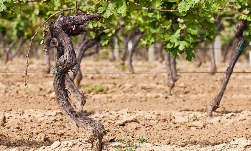 Почва на виноградниках