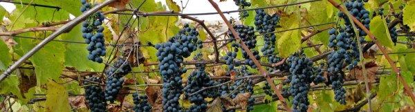 Обработка винограда медным купоросом, для чего и как правильно обрабатывать, в том числе дозировка препарата