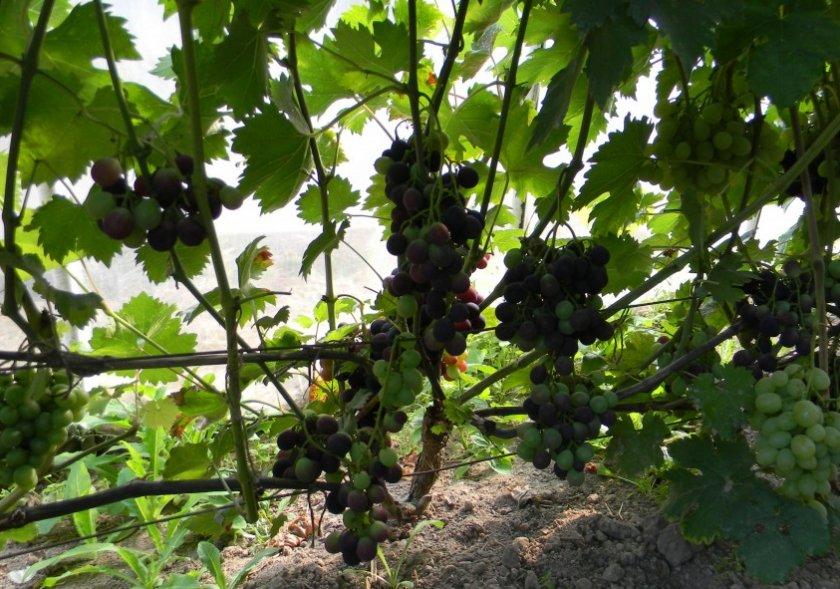 Виноград «Страшенский»