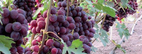 Сорт винограда роза несветая