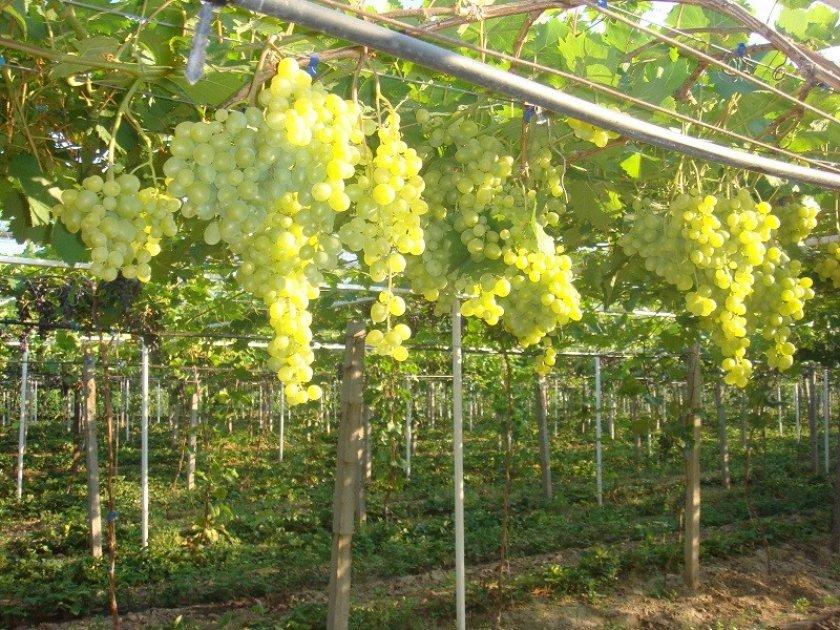 Особенности выращивания винограда супер экстра
